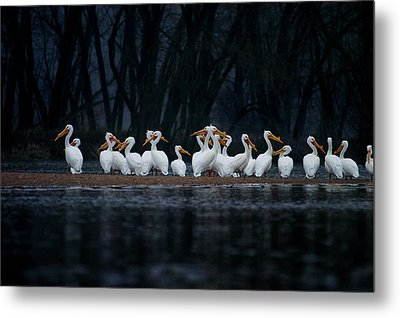 Metal Print featuring the photograph American White Pelican by Jane Melgaard