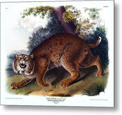 American Wild Cat Antique Print Audubon Quadrupeds Of North America Plate 1 Metal Print by Orchard Arts