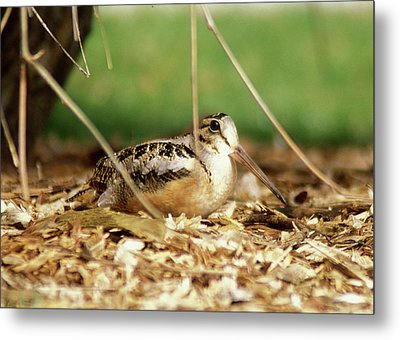 American Woodcock Metal Print by John Burk