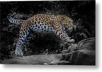 Amur Leopard On The Hunt Metal Print by Martin Newman