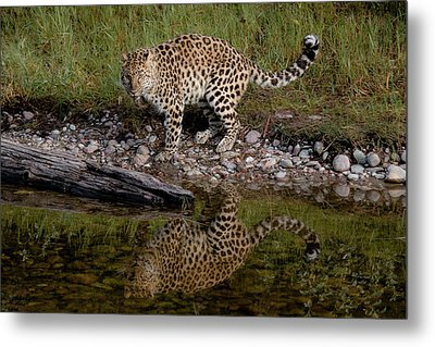 Amur Leopard Reflection Metal Print