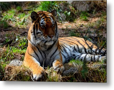 Metal Print featuring the mixed media Amur Tiger 1 by Angelina Vick