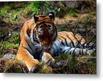 Metal Print featuring the mixed media Amur Tiger 2 by Angelina Vick