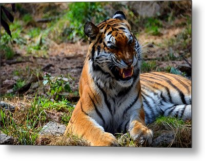 Metal Print featuring the mixed media Amur Tiger 3 by Angelina Vick