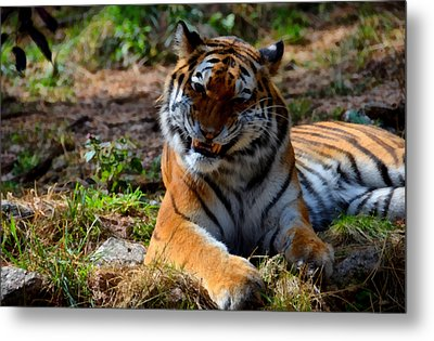 Metal Print featuring the mixed media Amur Tiger 4 by Angelina Vick