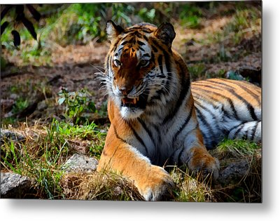 Metal Print featuring the mixed media Amur Tiger 5 by Angelina Vick