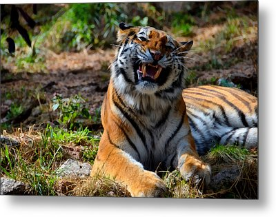 Metal Print featuring the mixed media Amur Tiger 7 by Angelina Vick