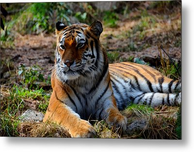 Metal Print featuring the mixed media Amur Tiger 8 by Angelina Vick