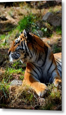 Metal Print featuring the mixed media Amur Tiger 9 by Angelina Vick