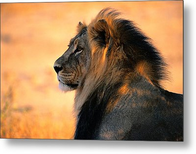 An Adult Male African Lion, Panthera Metal Print by Nicole Duplaix