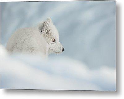 An Arctic Fox In Snow. Metal Print by Andy Astbury