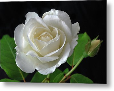 An English Rose Metal Print by Terence Davis