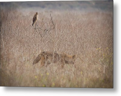 An Eye On The Competition Metal Print by Carl Jackson
