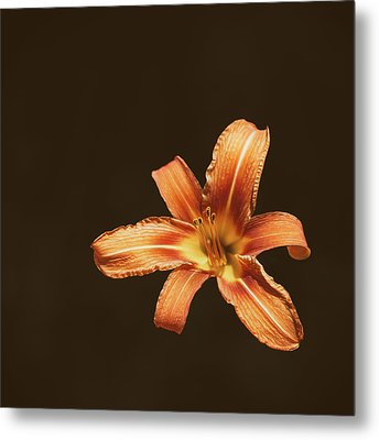 An Orange Lily Metal Print by Scott Norris