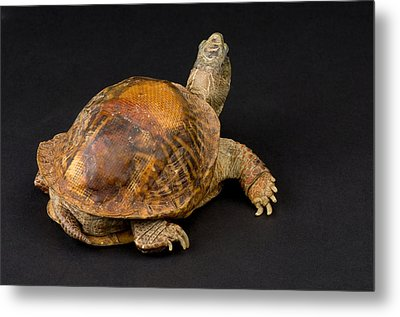 An Ornate Box Turtle With A Fiberglass Metal Print by Joel Sartore