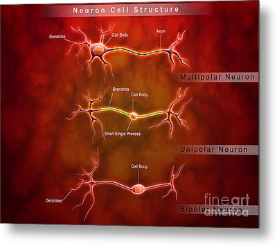 Anatomy Structure Of Neurons Metal Print