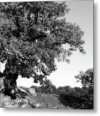 Ancient Oak, Bradgate Park Metal Print