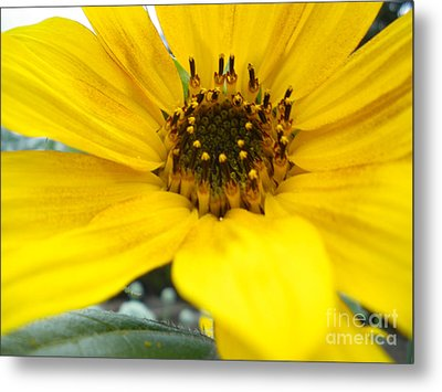 Angled Sunflower Metal Print by Sonya Chalmers