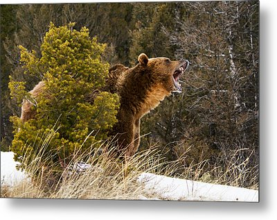 Angry Grizzly Behind Tree Metal Print
