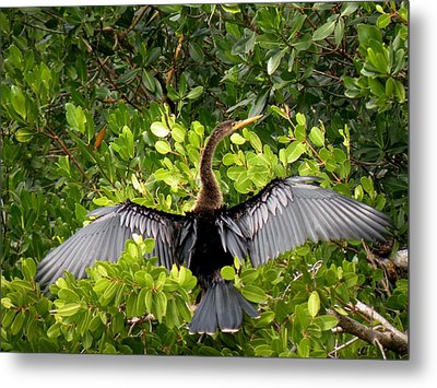 Metal Print featuring the photograph Anhinga With Silver Wings by Rosalie Scanlon