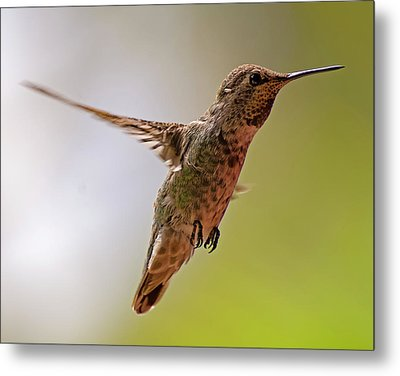 Metal Print featuring the photograph Anna's Hummingbird H24 by Mark Myhaver