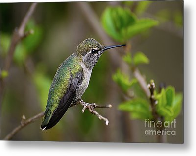 Metal Print featuring the photograph Anna's Hummingbird On Lime Tree by Susan Wiedmann