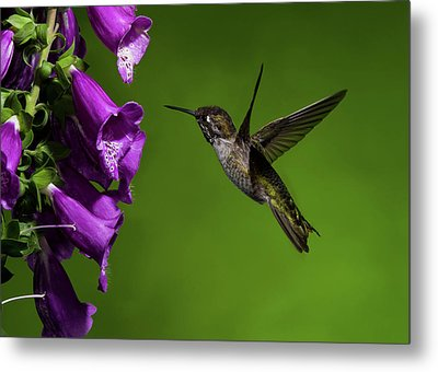Metal Print featuring the photograph Anna's Hummingbird With Fox Glove Flowers by Lara Ellis