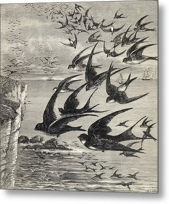 Annual Migration Of Swallows. From The Metal Print