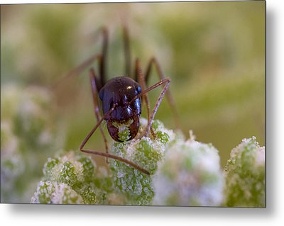Ant Metal Print by Andre Goncalves