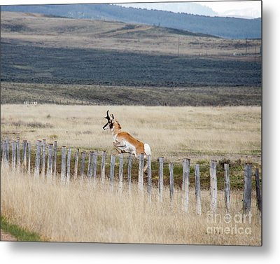 Metal Print featuring the photograph Antelope Jumping Fence 1 by Rebecca Margraf