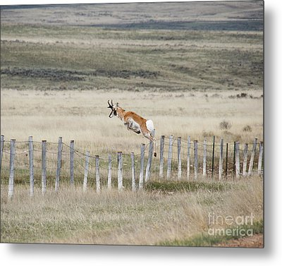 Metal Print featuring the photograph Antelope Jumping Fence 2 by Rebecca Margraf
