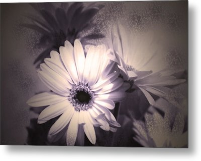 Antique Delicate Daisies  Metal Print by Cathy  Beharriell