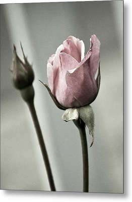 Antique Pink Rose Metal Print by Marion McCristall