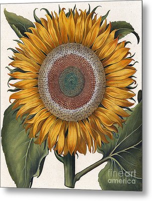 Antique Sunflower Print Metal Print