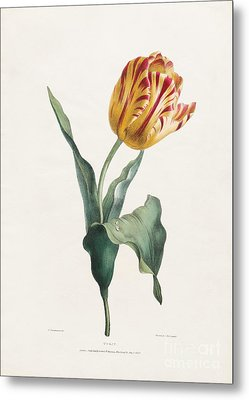 Antique Tulip Print Metal Print by Valentine Bartholomew
