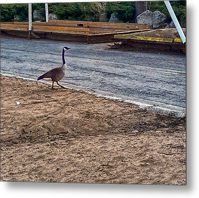 Antonio Struts At The Arrington Lakefront Lagoon 08 Metal Print