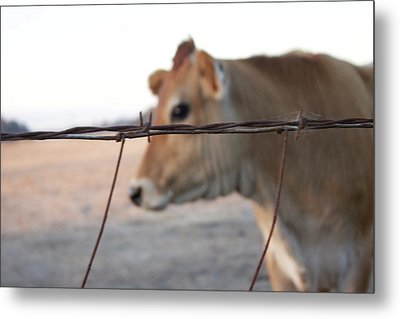 Metal Print featuring the photograph Any Cow  by Lora Lee Chapman