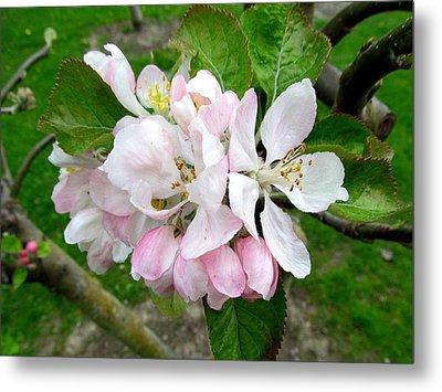 Apple Blossom Metal Print by Joyce Woodhouse