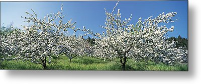 Apple Blossom Trees Norway Metal Print by Panoramic Images