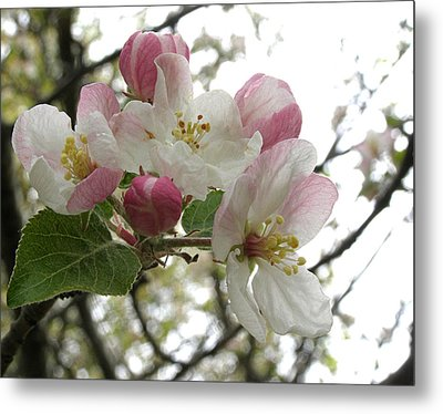 Metal Print featuring the photograph Apple Blossoms - Wild Apple by Angie Rea