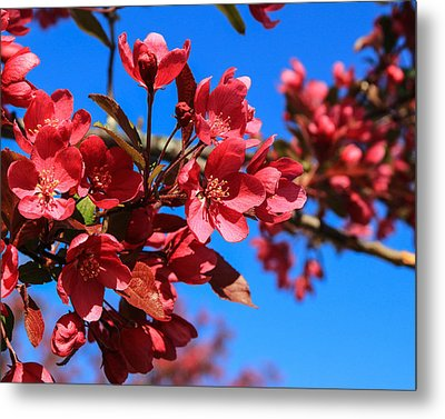 Apple Blossoms #2 Metal Print