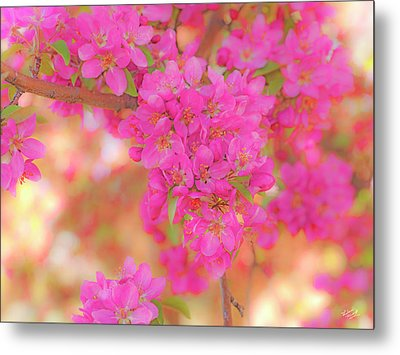 Apple Blossoms A Metal Print by Leland D Howard