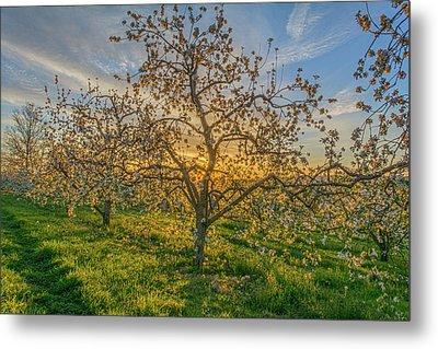 Apple Blossoms At Sunrise 2 Metal Print
