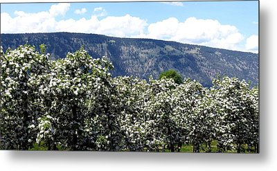 Apple Blossoms Metal Print by Will Borden