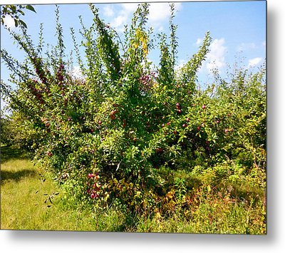 Apple Orchard 9 Metal Print by Lanjee Chee