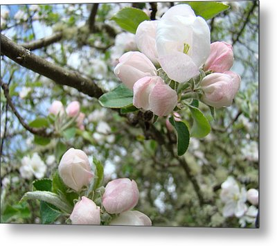 Apple Tree Blossoms Art Prints Apple Blossom Buds Baslee Troutman Metal Print by Baslee Troutman