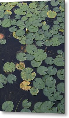 Approaching Lilly Metal Print by Alan Rutherford