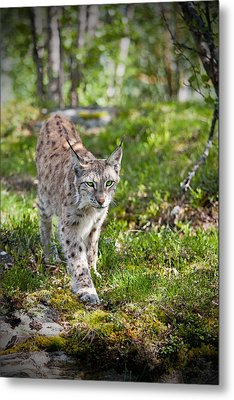 Metal Print featuring the photograph Approaching Lynx by Yngve Alexandersson