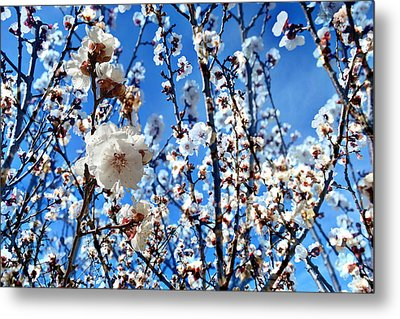 Metal Print featuring the photograph Apricot Blossoms by Glenn McCarthy Art and Photography