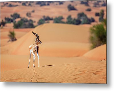 Metal Print featuring the photograph Arabian Gazelle by Alexey Stiop